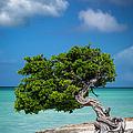 Weathered Tree On Aruba Beach by Brian Jannsen