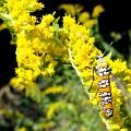 Webworm Moth by Trish Hale