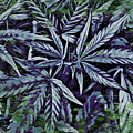 Weed Abstracts One by Alice Gipson