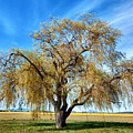 Weeping Willow by Jim Romo
