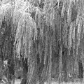 wEEPING wILLOW by Amy Bengard