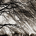 Weeping Willow Tree  by Carol F Austin