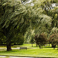 Weeping Willow Trees On Windy Day by Carol F Austin