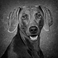 Weimaraner In Black And White by Greg Mimbs