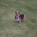 Welsh Corgie by Linda Ostby
