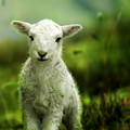 Welsh Lamb by Angel Ciesniarska