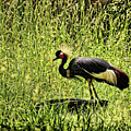 West African Crowned Crane by Judy Vincent