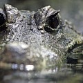 West African Dwarf Crocodile - Captive 03 by Pamela Critchlow