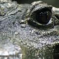 West African Dwarf Crocodile - Captive 04 by Pamela Critchlow