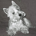 West Highland White Terrier by Charmaine Zoe