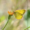 Wester Sulfur Butterfly by Brad Christensen