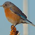 Western Bluebird by Dan Miller