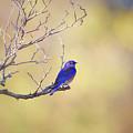 Western Bluebird On Bare Branch by Susan Gary