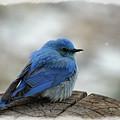 Western Bluebird On Cold Day by Kae Cheatham