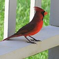 Western Cardinal by Mary Deal