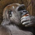 Western Gorilla, Gladys Porter Zoo, Brownsville, Texas by TN Fairey