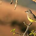 Western Kingbird by Thomas Morris