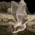 Western Long-eared Myotis Drinking by Michael Durham