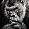 Western Lowland Gorilla Bw II by Abeselom Zerit
