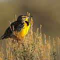 Western Meadowlark At Dawn by Dennis Hammer