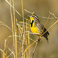Western Meadowlark Calling For Mate by Dennis Hammer