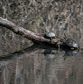Western Painted Turtles On A Log by Robert Potts