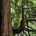 Western Red Cedar by Robert Potts