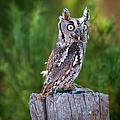 Western Screech Owl by John Bartelt