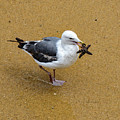 Western Seagull Carrying A Starfish by Susan Wiedmann