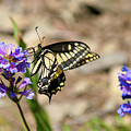 Western Tiger Swallowtail by Bruce Block