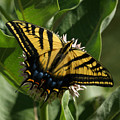 Western Tiger Swallowtail 2 by Ernie Echols