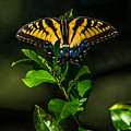 Western Tiger Swallowtail by Alicia Collins