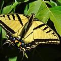Western Tiger Swallowtail Butterfly by Barbara St Jean