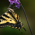 Western Tiger Swallowtail Butterfly On Purble Verbena by Em Witherspoon