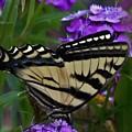 Western Tiger Swallowtail Butterfly Side View by Barbara St Jean