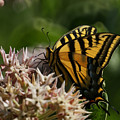Western Tiger Swallowtail by Ernie Echols