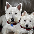 Westie World by Geraldine Alexander