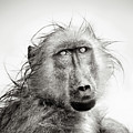 Wet Baboon portrait by Johan Swanepoel