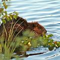 Wet Beaver by Rick  Monyahan