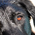Wet Black Lab by Vivian Krug Cotton