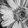 Wet Daisy In Monochrome by SR Green