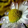 Wet Daisy by Wolfgang Stocker