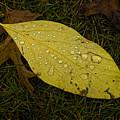 Wet Fallen Leaf by Robert Ullmann