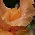Wet Orange Iris Macro by Jean Noren