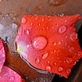 Wet Petal 1 by Claudia Goodell