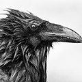 Wet Raven by Max Waugh