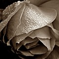 Wet Rose In Sepia by Patricia Strand