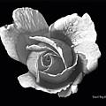 Wet Rose Portrait by Diane E Berry