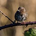 Wet Song Sparrow by Robert Potts