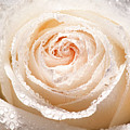 Wet White Rose by Don Johnson